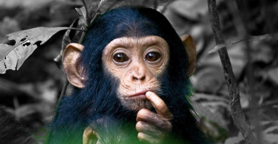 chimpance-pensando