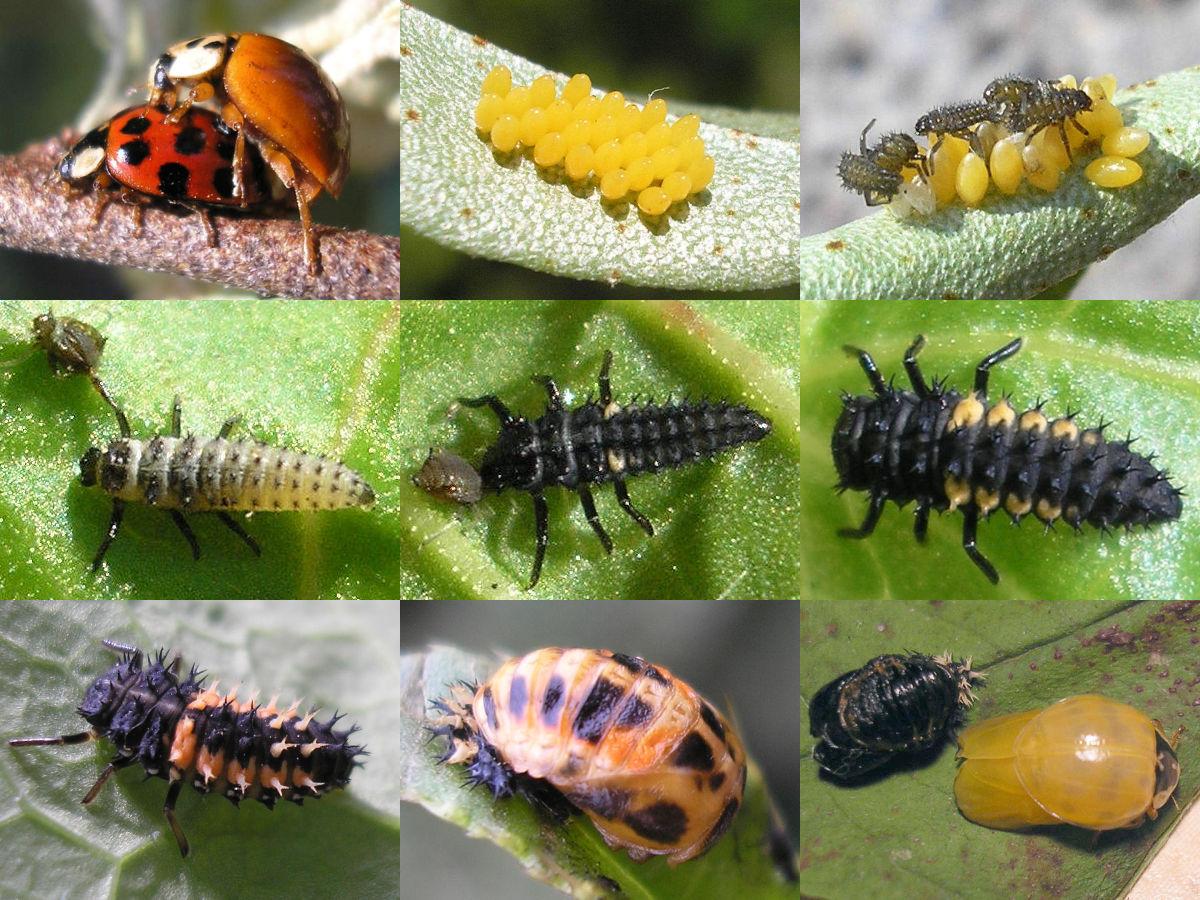 what do ladybugs eat