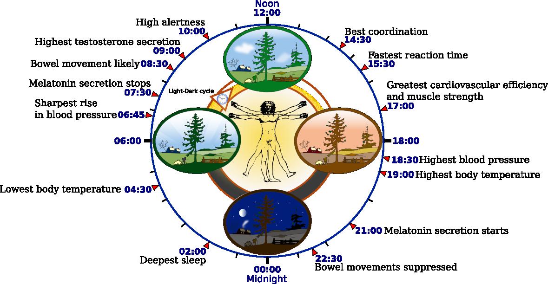 Reloj biológico humano – gráfico   Refugio Antiaéreo
